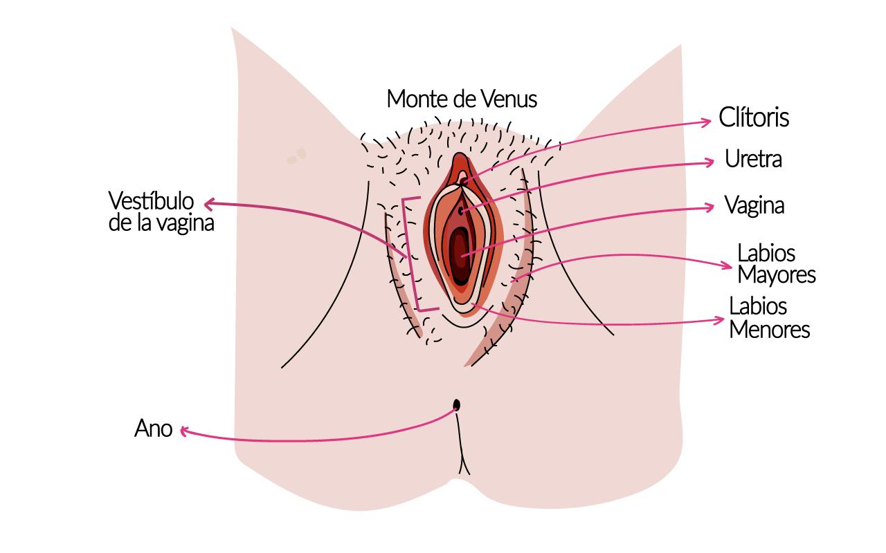 la vulva